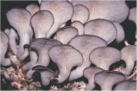 Nonmycorrhizal Mushrooms - Edible Mushrooms - Johnny's Kitchen