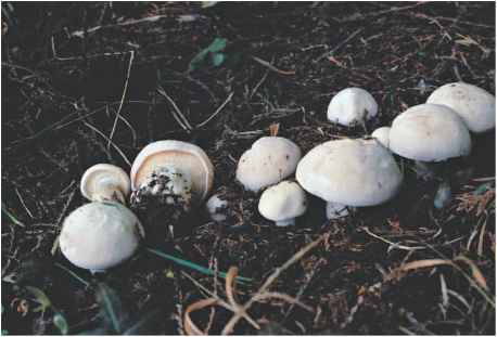 Edible Mushrooms The