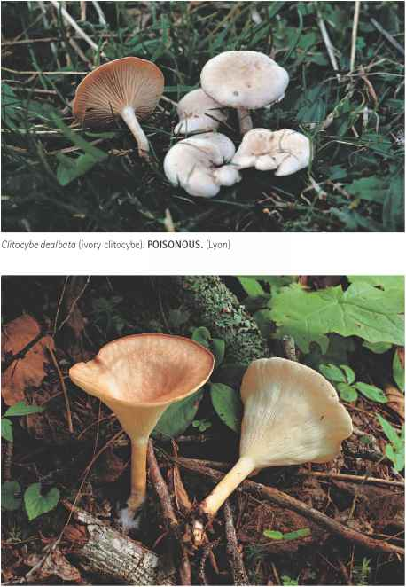 Funnel Caps Critoeybe Species Images